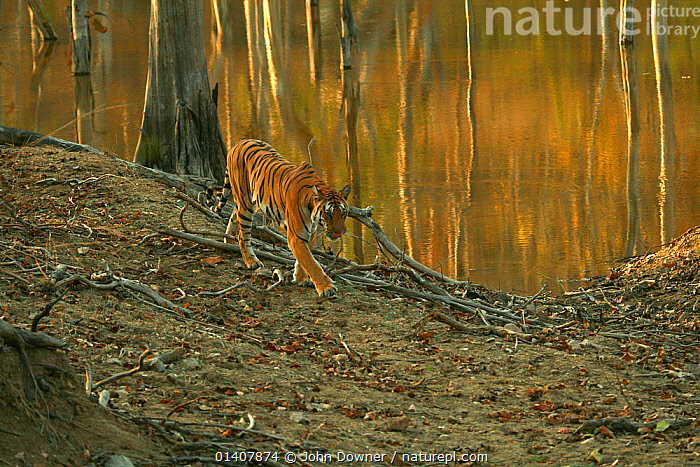 Bengal Tiger (Panthera tigris tigris) juvenile female, walking along by water, Pench National Park, Madhya Pradesh, India, taken on location for 'Tiger - Spy in the Jungle' 2007  ,  ASIA,BIG CATS,CARNIVORES,ENDANGERED,FELIDAE,FEMALES,INDIA,INDIAN SUBCONTINENT,JUVENILE,JUVENILES,MAMMALS,NP,REFLECTIONS,RESERVE,TIGERS,WALKING,WATER,YOUNG,National Park  ,  John Downer
