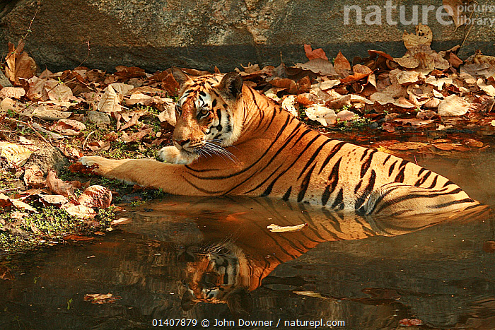 Bengal Tiger (Panthera tigris tigris) keeping cool in water,  Pench National Park, Madhya Pradesh, India, taken on location for 'Tiger - Spy in the Jungle' March 2007  ,  AUTUMN,MAMMALS,TIGERS,WATER,ASIA,BIG CATS,CARNIVORES,ENDANGERED,FELIDAE,FEMALES,INDIA,INDIAN SUBCONTINENT,JUVENILE,JUVENILES,LEAVES,NP,RESERVE,THERMOREGULATION,YOUNG,National Park  ,  John Downer