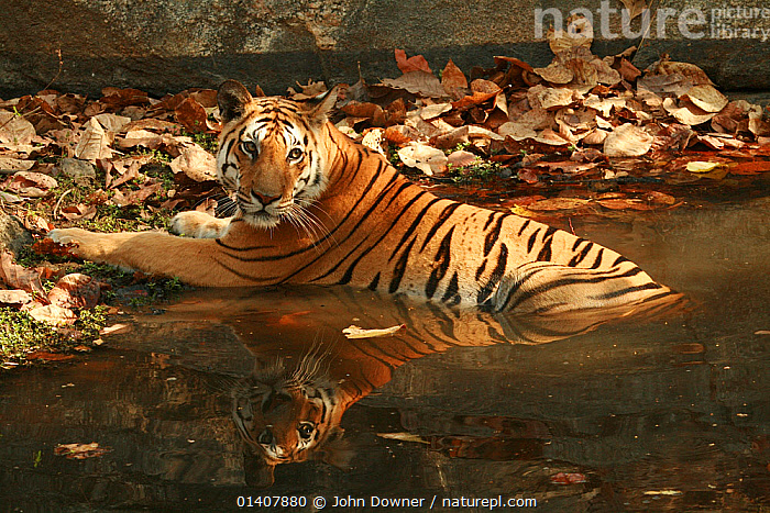 Bengal Tiger (Panthera tigris tigris) juvenile female, resting in pool to keep cool, Pench National Park, Madhya Pradesh, India, taken on location for 'Tiger - Spy in the Jungle' March 2007  ,  AUTUMN,MAMMALS,PORTRAITS,TIGERS,WATER,ASIA,BIG CATS,CARNIVORES,ENDANGERED,FELIDAE,FEMALES,INDIA,INDIAN SUBCONTINENT,JUVENILE,JUVENILES,LEAVES,NP,RESERVE,THERMOREGULATION,YOUNG,National Park  ,  John Downer