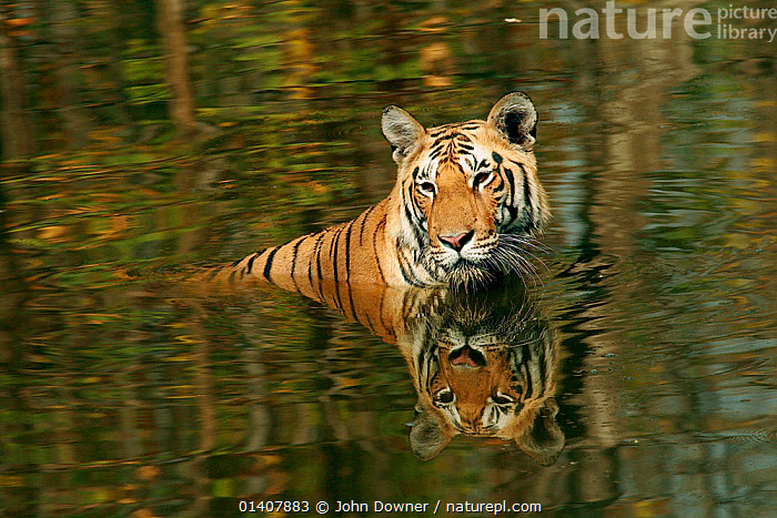 Bengal Tiger (Panthera tigris tigris) juvenile male in water keeping cool, Pench National Park, Madhya Pradesh, India, taken on location for 'Tiger - Spy in the Jungle' March 2007  ,  MAMMALS,PORTRAITS,REFLECTIONS,TIGERS,WATER,ASIA,BIG CATS,CARNIVORES,ENDANGERED,FELIDAE,INDIA,INDIAN SUBCONTINENT,JUVENILE,JUVENILES,MALES,NP,RESERVE,THERMOREGULATION,YOUNG,National Park  ,  John Downer