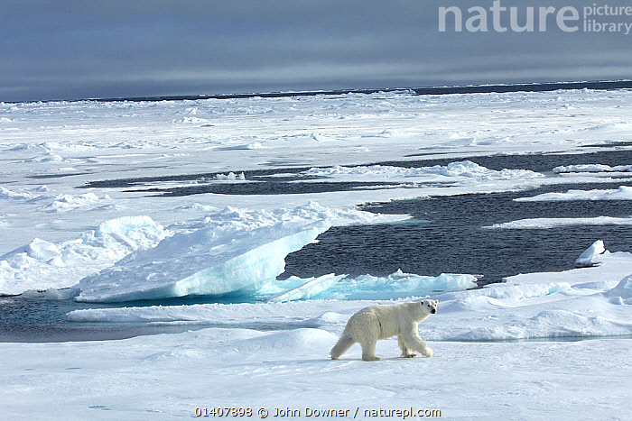 Polar bear (Ursus maritimus) walking across ice, Svalbard, Norway, taken on location for 'Polar Bear : Spy on the Ice' August 2010  ,  ALONE,ARCHIPELAGO,ARCTIC,BEARS,CARNIVORES,COLD,ENDANGERED,EUROPE,HABITAT,ICE,LANDSCAPES,MAMMALS,MARINE,NORWAY,ONE,POLAR,SPACE,SPITSBERGEN,SPITZBERGEN,SVALBARD,URSIDAE,VERTEBRATES,VULNERABLE,WALKING,Scandinavia  ,  John Downer