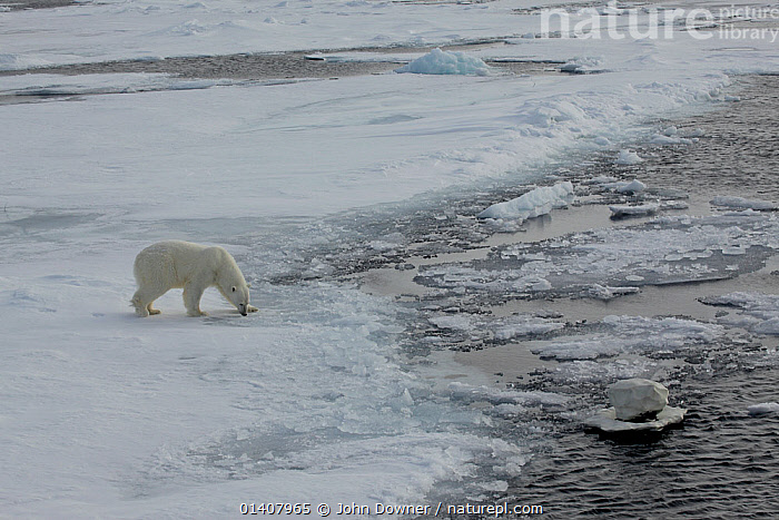 Polar bear (Ursus maritimus) walking along ice with 'Iceberg cam' remote camera filming,  Svalbard, Norway, taken on location for 'Polar Bear : Spy on the Ice' August 2010  ,  BEARS,CAMERAS,CARNIVORES,ENDANGERED,EQUIPMENT,FILMING,ICE,MARINE,NATURAL HISTORY TELEVISION,NORWAY,POLAR,SPITSBERGEN,VERTEBRATES,VULNERABLE,ARCHIPELAGO,ARCTIC,COLD,EUROPE,MAMMALS,NATURAL HISTORY FILMING,SPITZBERGEN,SVALBARD,TECHNOLOGY,TELEVISION,URSIDAE,WILDLIFE TELEVISION,WILDLLIFE TELEVISION,Scandinavia  ,  John Downer