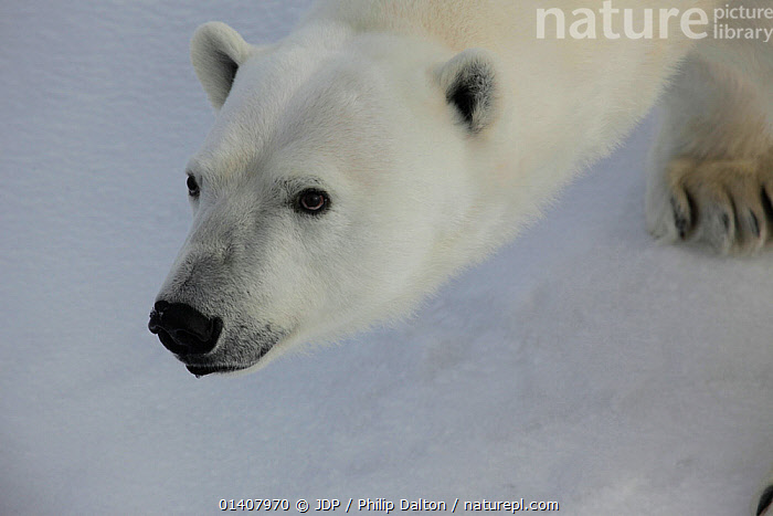 Polar bear (Ursus maritimus) Svalbard, Norway, taken on location for 'Polar Bear : Spy on the Ice' August 2010  ,  BEARS,CARNIVORES,ENDANGERED,MARINE,NORWAY,POLAR,SPITSBERGEN,VERTEBRATES,VULNERABLE,ARCHIPELAGO,ARCTIC,COLD,EUROPE,MAMMALS,PORTRAITS,SPITZBERGEN,SVALBARD,URSIDAE,Scandinavia  ,  JDP / Philip Dalton