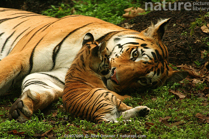 Bengal Tiger (Panthera tigris tigris) mother and cub, Pench National Park, Madhya Pradesh, India, taken on location for 'Tiger - Spy in the Jungle'  ,  ASIA,BABIES,BIG-CATS,CARNIVORES,CUBS,CUTE,ENDANGERED,felidae,FEMALES,india,INDIAN-SUBCONTINENT,MAMMALS,MOTHER,MOTHER-BABY,NP,RESERVE,TIGERS,two,VERTEBRATES,YOUNG high1314,PANTHERA TIGRIS TIGRIS,Animal,Vertebrate,Mammal,Carnivore,Cat,Big cat,Tiger,Bengal tiger,Animalia,Animal,Wildlife,Vertebrate,Mammalia,Mammal,Carnivora,Carnivore,Felidae,Cat,Panthera,Big cat,Panthera tigris,Tiger,Felis tigris,Tigris striatus,Tigris regalis,Lying down,Lying On Side,Resting,Rest,Advice,Advise,Advising,Relaxation,Togetherness,Close,Together,Face To Face,Face Each Other,Facing Each Other,Two,Nobody,Pattern,Patterned,Patterns,Asia,Indian Subcontinent,India,Close Up,Young Animal,Juvenile,Babies,Baby Mammal,Cub,Female animal,Outdoors,Open Air,Outside,Day,Nature,Natural,Natural World,Wild,Bengal tiger,Indian tiger,Family,Mother baby,Mother-baby,mother,Two animals,Madhya Pradesh,Parent baby,Animal marking,Parenting,Pench National Park,Endangered species,threatened,Endangered  ,  John Downer