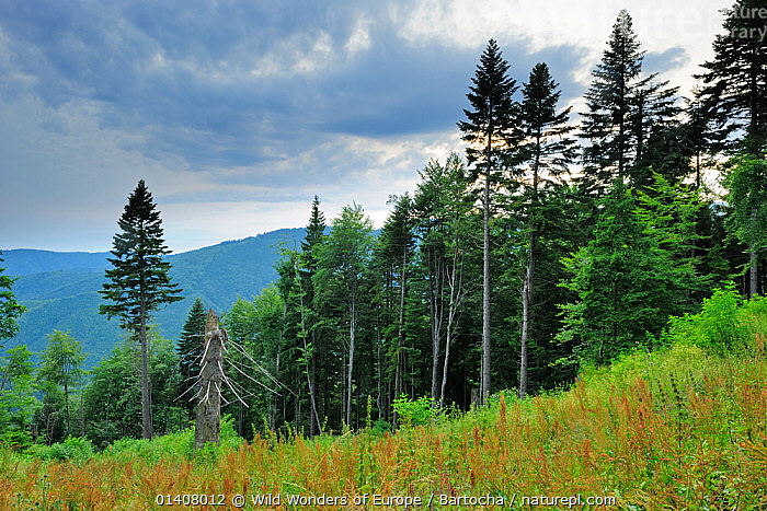 Fir trees (Abies sp.) in pristine Beech-Fir  forest, Runcu Valley, Dambovita County, Leota Mountain Range, Romania, July, 2011  ,  abies,Carpathians,CONIFERS,EUROPE,Fagus,FORESTS,GYMNOSPERMS,LANDSCAPES,MOUNTAINS,PINACEAE,PINES,PLANTS,Rewilding,Romania,sandra bartocha,Southern Carpathians,Transylvania,transylvanian alps,TREES,WOODLANDS,WWE  ,  Wild Wonders of Europe / Bartocha