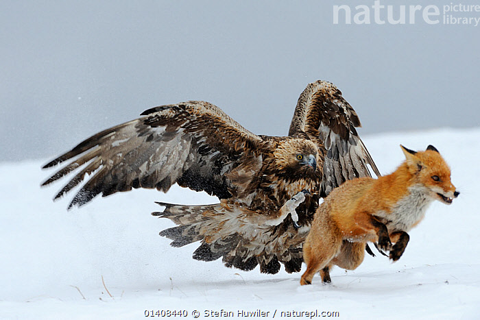 Golden Eagle (Aquila chrysaetos) adult defending carcass from Red Fox (Vulpes vulpes), Sinite Kamani National Park, Bulgaria, Europe. February. Commended, Behaviour : Birds category, Wildlife Photographer of the Year (WPY) Competition 2012.  ,  ACTION,AGGRESSION,BEHAVIOUR,BIRDS,BIRDS OF PREY,BULGARIA,CARNIVORES,CONFLICT,DEFENSIVE,EAGLES,EUROPE,FOXES,MAMMALS,MIXED SPECIES,RUNNING,SNOW,VERTEBRATES,WINTER,Raptor,Catalogue5  ,  Stefan Huwiler