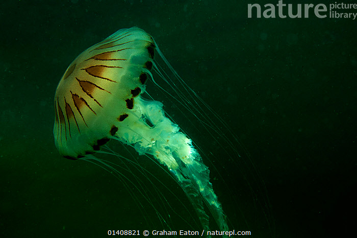 Compass Jellyfish, in murky water, Abersoch, Cardigan Bay, Wales, July, ATLANTIC,CNIDARIANS,EUROPE,INVERTEBRATES,JELLYFISH,MARINE,SCYPHOZOANS,TEMPERATE,UK,UNDERWATER,WALES,United Kingdom,Catalogue5, Graham Eaton