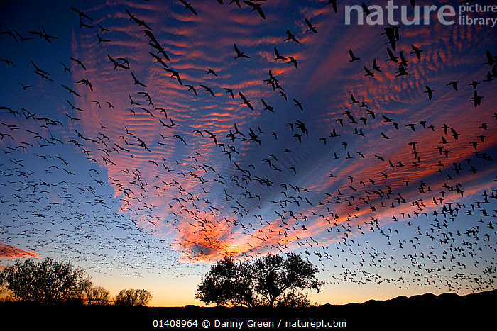 Snow Geese (Chen caerulescens) in flight, silhouetted against colourful dusk sky. Bosque del Apache, New Mexico, USA, November., BIRDS, chen caerulescens, CLOUDS, DUSK, FLOCKS, FLYING, GEESE, GROUPS, LANDSCAPES, light, many, masses, multitudes, RESERVE, SKIES, USA, VERTEBRATES, WATERFOWL,Weather,North America,Catalogue5, Danny Green