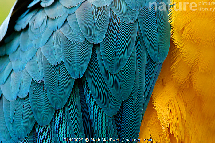 Blue-and-Yellow Macaw (Ara ararauna) close up of feathers. Captive, Brazil, South America., BIRDS,BLUE,COLOURFUL,FEATHERS,MACAWS,PARROTS,PSITTACIDAE,SOUTH AMERICA,VERTEBRATES,YELLOW,Catalogue5, Mark MacEwen