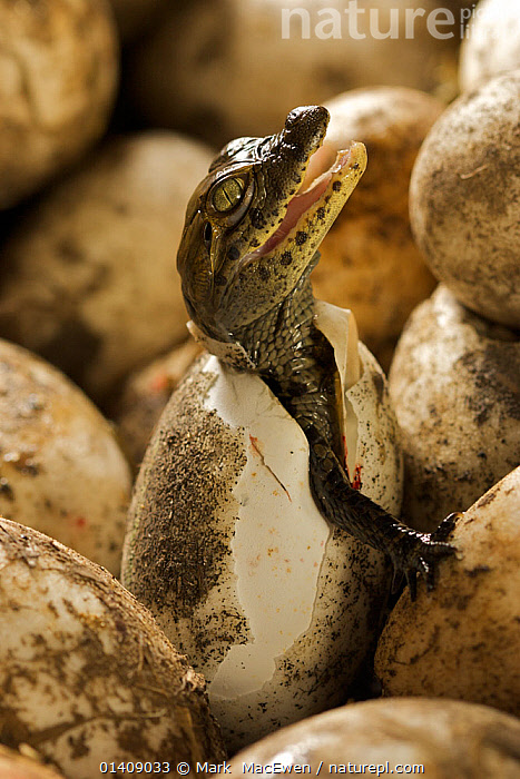 Broad snouted caiman (Caiman latirostris) hatching from egg in nest, Sante Fe, Argentina, February  ,  ALLIGATORS,Argentina,CROCODILIANS,EGGS,HATCHING,NESTS,REPTILES,SOUTH-AMERICA,VERTEBRATES,VERTICAL high1314,CAIMAN LATIROSTRIS,Animal,Vertebrate,Reptile,Crocodilian,Caiman,Broad nosed caiman,Animalia,Animal,Wildlife,Vertebrate,Reptilia,Reptile,Crocodylia,Crocodilian,Crocodilia,Alligatoridae,Caiman,Caiman latirostris,Broad nosed caiman,Crocodilus latirostris,Alligator latirostris,Jacaretinga latirostris,Hatching,Hatch,Head Back,Head Cocked,New Beginnings,Begin,New Life,Effort,Exertion,Trying,Emergence,Coming Out,Emergance,Emerge,Emerges,Emerging,Nobody,Latin America,South America,Argentina,Close Up,Side View,Animal Eggs,Egg,Eggs,Outdoors,Open Air,Outside,Day,Animal Behaviour,Behaviour,Beginnings,Santa fe  ,  Mark  MacEwen