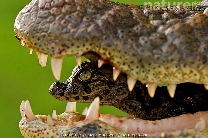 Broad snouted caiman (Caiman latirostris) baby in mothers mouth being carried from the nest, Sante Fe, Argentina, February, ALLIGATORS,CARRYING,CROCODILIANS,CUTE,GENTLE,MOTHER BABY,REPTILES,SOUTH AMERICA,TEETH,VERTEBRATES,Crocodylia,Caimans, Mark MacEwen