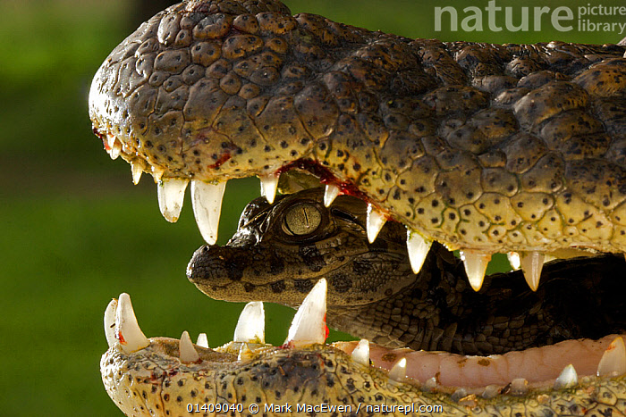 Broad snouted caiman (Caiman latirostris) baby in mothers mouth being carried from nest, Sante Fe, Argentina, February  ,  ALLIGATORS,ARGENTINA,BABIES,CAIMAN,CARRYING,CROCODILIANS,GENTLE,MOTHER BABY,NESTS,REPTILES,SOUTH AMERICA,TEETH,VERTEBRATES,Crocodylia,Caimans,Catalogue5  ,  Mark MacEwen