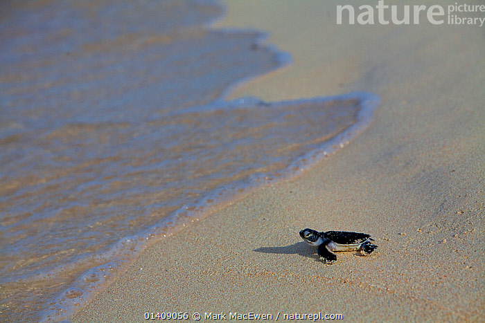 Green Sea Turtle (Chelonia mydas) Hatchling, returning to sea after, Raine Island, Australia.  Raine Island is the largest and most important green sea turtle nesting area in the world, with over 14,000 turtles nesting on the small coral sand cay in one season., AUSTRALASIA,AUSTRALIA,BABIES,BEACHES,CHELONIA,ENDANGERED,MARINE,NP,PACIFIC OCEAN,REPTILES,RESERVE,SEA TURTLES,THE SEA,TROPICAL,TURTLES,YOUNG,National Park, Mark MacEwen