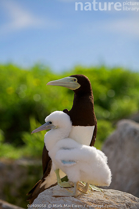 Brown booby (Sula leucogaster) adult and chick, Raine Island National Park, Great Barrier Reef, Australia., AUSTRALASIA,AUSTRALIA,BABIES,BIRDS,BOOBIES,CHICKS,JUVENILE,NP,RESERVE,SEABIRDS,SULIDAE,VERTEBRATES,VERTICAL,YOUNG,National Park, Mark MacEwen