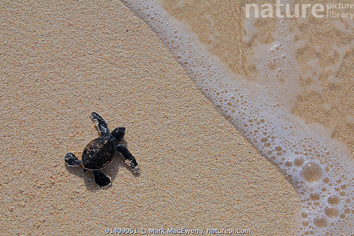 Green Sea Turtle (Chelonia mydas) hatchling, heading out to sea, Raine Island, Great Barrier Reef, Australia. Raine Island is the largest and most important green sea turtle nesting area in the world, with over 14,000 turtles nesting on the small coral sand cay in one season., AUSTRALASIA,AUSTRALIA,BABIES,BEACHES,CHELONIA,ENDANGERED,MARINE,NP,PACIFIC OCEAN,REPTILES,RESERVE,SEA TURTLES,THE SEA,TROPICAL,TURTLES,YOUNG,National Park, Mark MacEwen