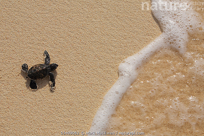 Green Sea Turtle (Chelonia mydas) hatchling, heading out to sea, Raine Island, Great Barrier Reef, Australia. Raine Island is the largest and most important green sea turtle nesting area in the world, with over 14,000 turtles nesting on the small coral sand cay in one season., AUSTRALASIA,AUSTRALIA,BABIES,BEACHES,CHELONIA,ENDANGERED,GREEN,MARINE,NP,PACIFIC OCEAN,REPTILES,RESERVE,SEA TURTLES,THE SEA,TROPICAL,TURTLE,TURTLES,YOUNG,National Park, Mark MacEwen