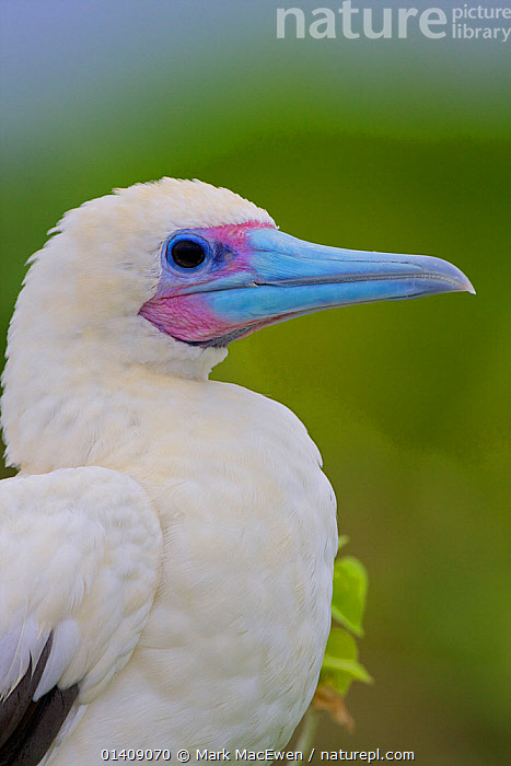 Red-footed Booby (Sula sula) nesting on Raine Island National Park, Great Barrier Reef, Australia., AUSTRALASIA,AUSTRALIA,BIRDS,BOOBIES,NP,PORTRAITS,RESERVE,SEABIRDS,SULIDAE,VERTEBRATES,VERTICAL,National Park, Mark MacEwen