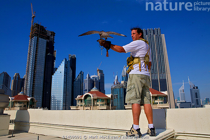 Peregrine Falcon (Falco peregrinus) and falconer, on roof tops in Dubai city, used for control of pigeon population, United Arab Emirates, January 2010, ARABIA,ASIA,BUILDINGS,CITIES,DUBAI,FALCONRY,LANDSCAPES,MIDDLE EAST,PEOPLE,PEST,PEST CONTROL,UAE,UNITED ARAB EMIRATES,URBAN, Mark MacEwen