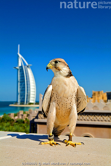 Lanner Falcon (Falco biarmicus) in Dubai with Burj Al Arab in the background, used to control urban pigeon population, Jumeirah Beach. United Arab Emirates (UAE), January 2010, ARABIA,BIRDS,BIRDS OF PREY,BUILDINGS,CITIES,DUBAI,FALCONS,LANDSCAPES,MIDDLE EAST,PEST CONTROL,PESTS,PORTRAITS,UAE,UNITED ARAB EMIRATES,URBAN,VERTEBRATES,VERTICAL, Mark MacEwen