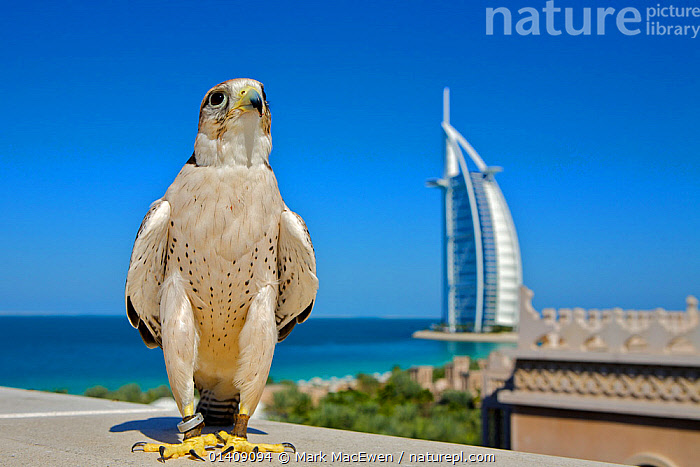 Lanner Falcon (Falco biarmicus) in Dubai with Burj Al Arab in the background, used to control urban pigeon population, Jumeirah Beach. United Arab Emirates (UAE), January 2010, ARABIA,BIRDS,BIRDS OF PREY,BUILDINGS,CITIES,DUBAI,FALCONS,LANDSCAPES,MIDDLE EAST,PEST CONTROLS,PESTS,PORTRAITS,UAE,UNITED ARAB EMIRATES,URBAN,VERTEBRATES, Mark MacEwen