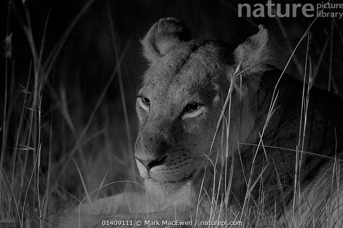 Marsh pride lioness at night lion (Panthera leo) at night, Masai Mara, Kenya, taken with infra-red camera, September, AFRICA,BIG-CATS,CARNIVORES,darkness,EAST-AFRICA,felidae,infra-red,Kenya,LIONS,MAMMALS,NIGHT,PORTRAITS,VERTEBRATES high1314,PANTHERA LEO,Animal,Vertebrate,Mammal,Carnivore,Cat,Big cat,Lion,Animalia,Animal,Wildlife,Vertebrate,Mammalia,Mammal,Carnivora,Carnivore,Felidae,Cat,Panthera,Big cat,Panthera leo,Waiting,Alertness,Alert,Nobody,Africa,East Africa,Kenya,Close Up,Side View,Lighting Technique,Female animal,Lioness,Lionesses,Plant,Grass Family,Tall Grass,Long Grass,Tall Grasses,Grass,Grasses,Outdoors,Open Air,Outside,Night,Lion,Maasai Mara, Mark  MacEwen
