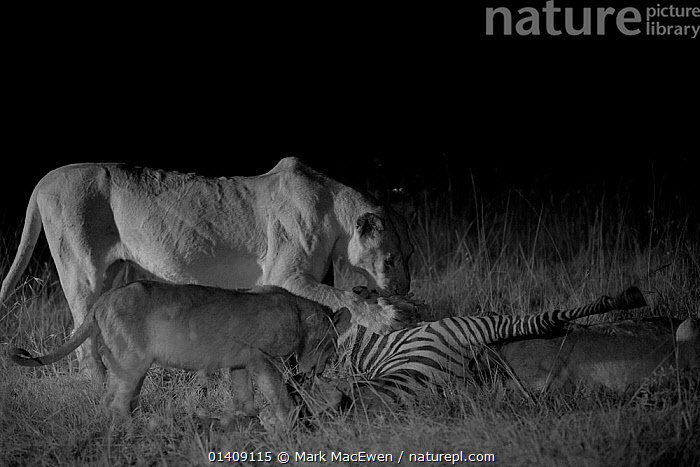 Marsh pride lion cub and Adult (Panthera leo) feeding on zebra at night, Masai Mara, Kenya, taken with infra-red camera, September, AFRICA,BABIES,BIG CATS,CARNIVORES,DARKNESS,EAST AFRICA,FEEDING,FELIDAE,INFRA RED,KENYA,LIONS,MAMMALS,NIGHT,VERTEBRATES, Mark MacEwen
