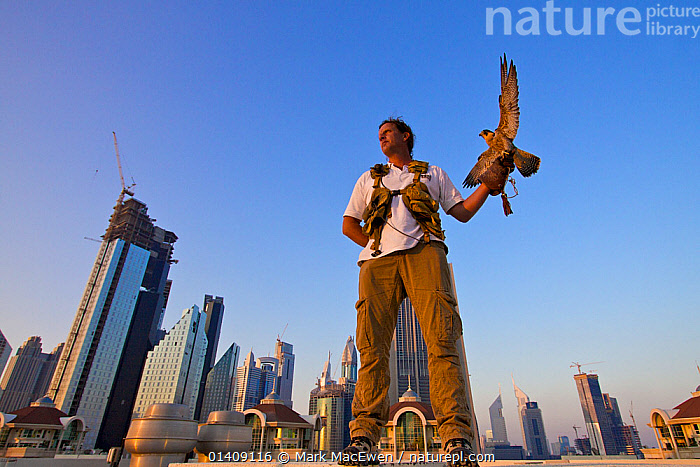 Peregrine Falcon (Falco peregrinus) perched on falconers hand, on roof top in Dubai city, used to control urban pigeon population, United Arab Emirates (UAE), January 2010, ARABIA,BIRDS,BIRDS OF PREY,BUILDINGS,CITIES,DUBAI,FALCONERS,FALCONIDAE,FALCONRY,FALCONS,LANDSCAPES,LOW ANGLE,MIDDLE EAST,PEOPLE,PEST CONTROL,PESTS,PORTRAITS,UAE,UNITED ARAB EMIRATES,URBAN,VERTEBRATES,WORKING, Mark MacEwen
