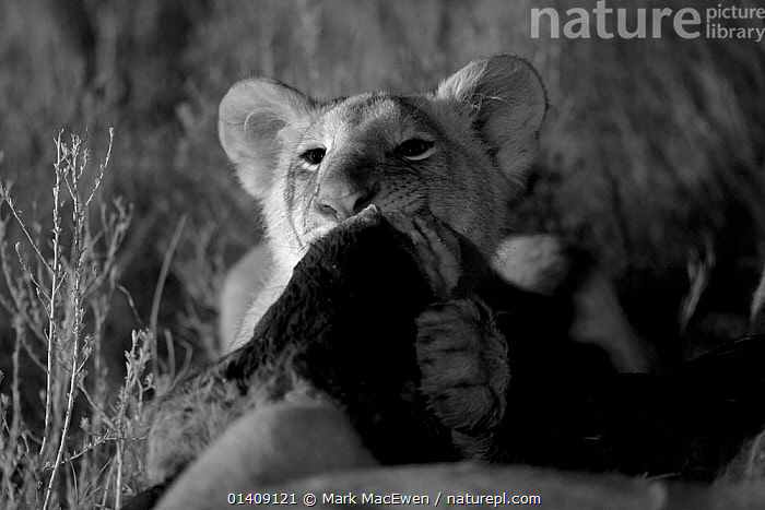 Marsh pride lion cub (Panthera leo) feeding on wildebeest at night, Masai Mara, Kenya, taken with infra-red camera, September, AFRICA,BABIES,BIG CATS,CARNIVORES,DARKNESS,EAST AFRICA,FEEDING,FELIDAE,INFRA RED,KENYA,LIONS,MAMMALS,NIGHT,VERTEBRATES, Mark MacEwen
