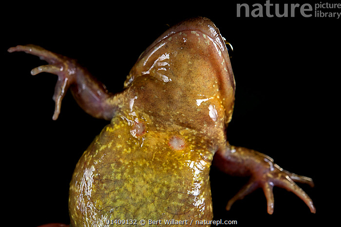 Fleshy wounds on the chest of a female Common frog (Rana temporaria) caused by the male's strong grip during amplexus, controlled conditions, Belgium, March., AMPHIBIANS,ANURA,BELGIUM,BLACK BACKGROUND,CUTOUT,EUROPE,FEMALES,FROGS,LOW ANGLE SHOT,MATING BEHAVIOUR,RANIDAE,VERTEBRATES,WOUNDED, Bert Willaert