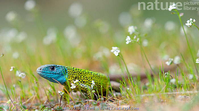 Male Schreiber's lizard (Lacerta schreiberi) in breeding colouration, Peneda-Geres National Park (Parque Nacional da Peneda-Geres), Portugal, April., COLOURFUL,EUROPE,FLOWERS,HEADS,LIZARDS,MALES,NP,PORTUGAL,PROFILE,REPTILES,RESERVE,VERTEBRATES,WHITE,National Park, Bert Willaert