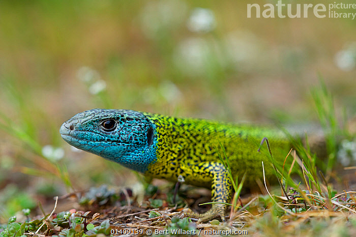 Male Schreiber's lizard (Lacerta schreiberi) in breeding colouration, Peneda-Geres National Park (Parque Nacional da Peneda-Geres), Portugal, April., COLOURFUL,EUROPE,LIZARDS,MALES,NP,PORTUGAL,PROFILE,REPTILES,RESERVE,VERTEBRATES,National Park, Bert Willaert