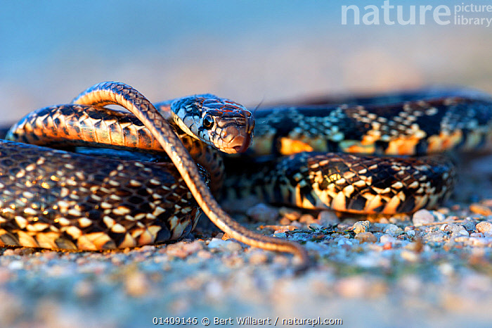 Horseshoe whip snake (Coluber hippocrepis) coiled up and tongue flicking. Extremadura, Spain, April., COLUBRIDS, EUROPE, PORTRAITS, REPTILES, smelling, SNAKES, SPAIN, TONGUES, VERTEBRATES, Bert Willaert