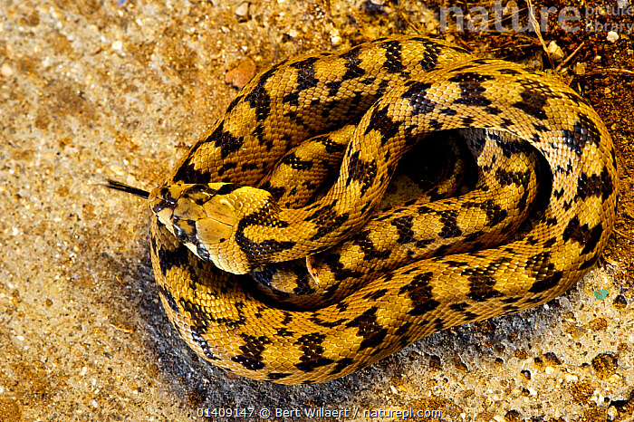 Juvenile Ladder snake (Rhinechis scalaris) coiled up and tongue flicking, Spain, April., COLUBRIDS, EUROPE, HIGH-ANGLE-SHOT, JUVENILE, REPTILES, smelling, SNAKES, SPAIN, TONGUES, VERTEBRATES, Bert Willaert