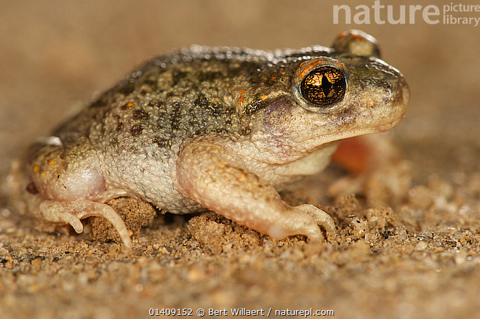 Male Iberian midwife toad (Alytes cisternasii), Spain, April., AMPHIBIANS,ANURA,EUROPE,MIDWIFE TOADS,PROFILE,SPAIN,TOADS,VERTEBRATES, Bert Willaert