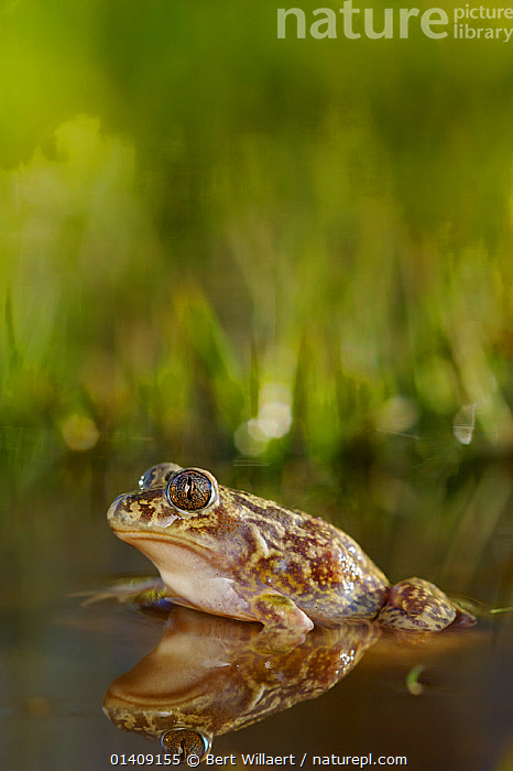 Western spadefoot toad (Pelobates cultripes), Spain, April., AMPHIBIANS,ANURA,EUROPE,PONDS,PROFILE,REFLECTIONS,SPADEFOOT TOADS,SPAIN,SURFACE,TOADS,VERTEBRATES,VERTICAL, Bert Willaert