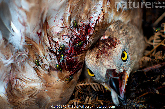 Honey buzzard (Pernis apivorus), wounded and dying after being shot, Georgia, September., ACCIPITRIDAE,BIRDS,BIRDS OF PREY,CONSERVATION,DEATH,ENVIRONMENTAL,EUROPE,GEORGIA,HUNTING,HUNTING FOOD,KITES,SHOOTING,SHOT,VERTEBRATES,WOUNDED,Hawks, Bert Willaert