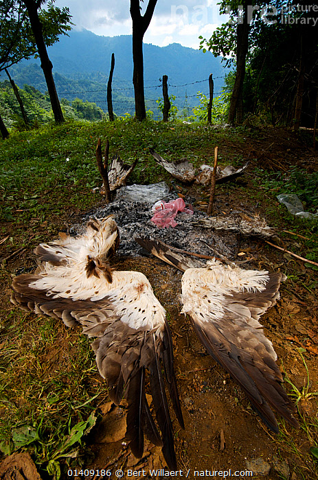 Remnants of a hunting barbeque, with the discarded remains of a Booted eagle (Aquila pennata) and Honey buzzards (Pernis apivorus), Georgia, September 2011., Accipitridae, BIRDS, BIRDS-OF-PREY, CONSERVATION, DEATH, EAGLES, ENVIRONMENTAL, EUROPE, FIRE, Georgia, HUNTING, HUNTING-FOOD, KITES, Shooting, shot, UPLANDS, VERTEBRATES, VERTICAL, WINGS, WOODLANDS,Raptor, Bert Willaert