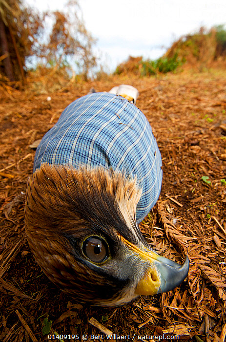Booted eagle (Aquila pennata) caught by a falconer for domestication, with its wings tied, Georgia, September., BIRDS, BIRDS-OF-PREY, claustrophobia, EAGLES, entrapment, ENVIRONMENTAL, EUROPE, falconry, Georgia, HEADS, LOW-ANGLE-SHOT, SAD, VERTEBRATES, VERTICAL,Concepts,Raptor, Bert Willaert