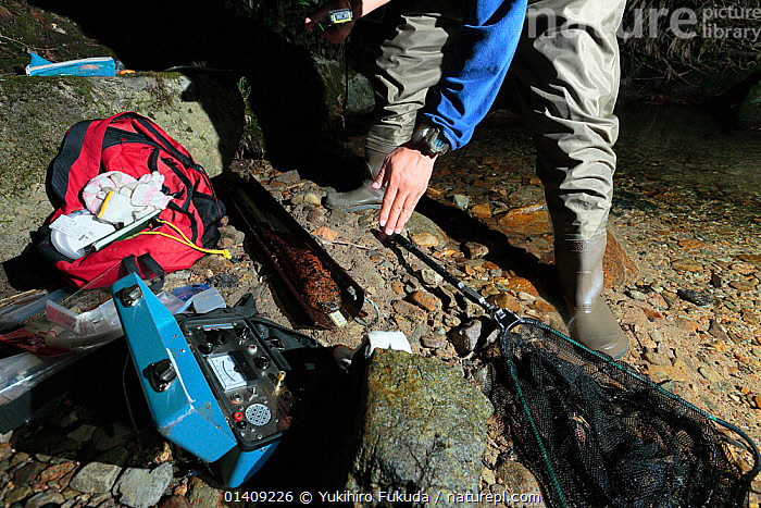 Japanese giant salamander (Andrias japonicus) being measured for size and weight for scientific research, Hino River, Tottori, Japan August., AMPHIBIANS,ASIA,FEET,FRESHWATER,HANDS,JAPAN,PEOPLE,RESEARCH,RIVERS,SALAMANDERS,SCIENCE,VERTEBRATES, Yukihiro Fukuda