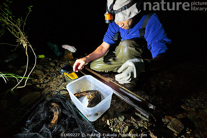 Japanese giant salamander (Andrias japonicus) being measured for size and weight for scientific research, Hino River, Tottori, Japan August., AMPHIBIANS,ASIA,FRESHWATER,JAPAN,MAN,PEOPLE,RESEARCH,RIVERS,SALAMANDERS,SCIENCE,VERTEBRATES, Yukihiro Fukuda