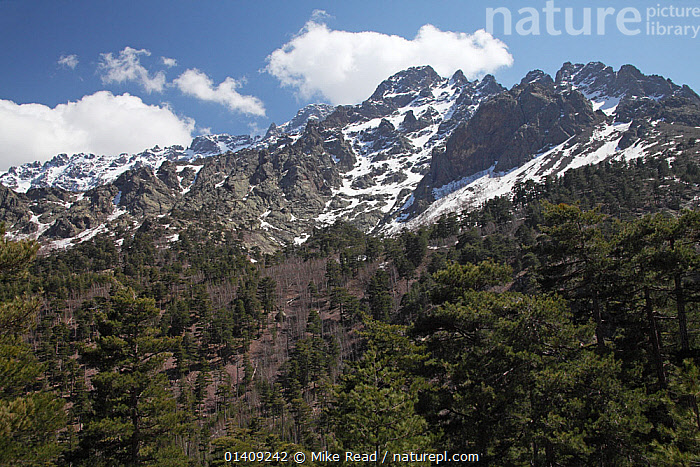 Mountains in the Restonica Valley, Parc Naturel Regional de Corse, Corsica, France, April 2010., EUROPE,FRANCE,LANDSCAPES,MOUNTAINS,NP,RESERVE,SNOW,TREES,WOODLANDS,National Park,PLANTS, Mike Read