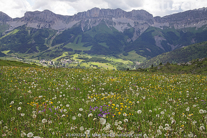 View of wildflower meadow with the Grand Veymont ridge beyond from the Pas du Serpaton, Parc Naturel Regional du Vercors, France, June 2012., ASTERACEAE,DICOTYLEDONS,EUROPE,FLOWERS,FRANCE,GERANIACEAE,LANDSCAPES,MEADOWLAND,MOUNTAINS,NP,PLANTS,RESERVE,UPLANDS,WILDFLOWERS,Grassland,National Park, Mike Read