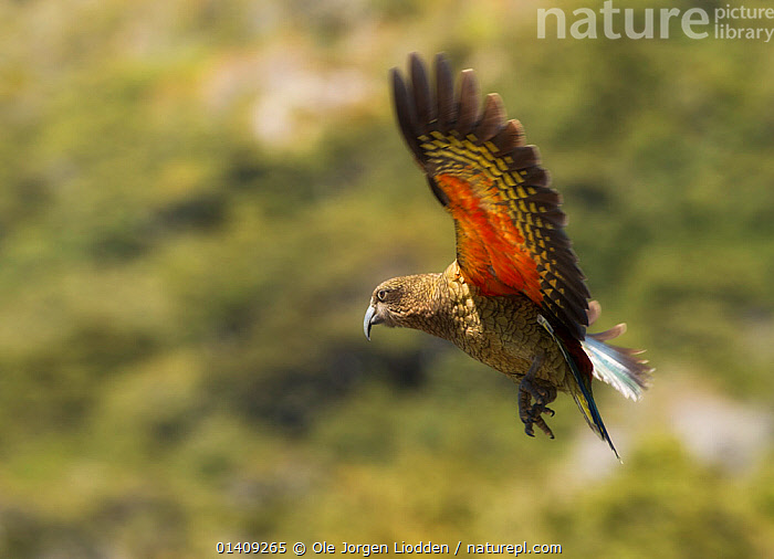 Kea (Nestor notabilis) in flight, Arthur's Pass, New Zealand. Vulberable species. November., AUSTRALASIA,BIRDS,ENDANGERED,FLYING,NEW ZEALAND,PARROTS,VERTEBRATES, Ole Jorgen Liodden