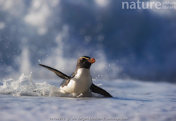 Fiordland crested penguin (Eudyptes pachyrhynchus) in shallow water, Westland, New Zealand, Vulnerable species. November., AUSTRALASIA,BIRDS,ENDANGERED,FLIGHTLESS,NEW ZEALAND,PENGUINS,SEABIRDS,VERTEBRATES,WILDLIFE, Ole Jorgen Liodden