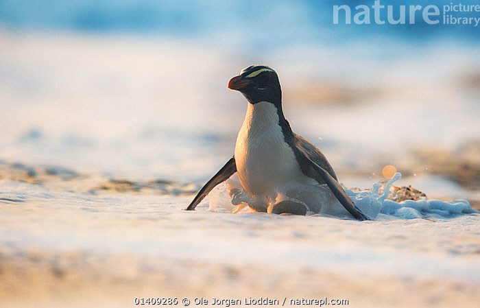 Fiordland crested penguin (Eudyptes pachyrhynchus) in foamy water near the shore. Westland, New Zealand, Vulnerable species. November., AUSTRALASIA,BIRDS,ENDANGERED,FLIGHTLESS,NEW ZEALAND,PACIFIC OCEAN,PENGUINS,SEABIRDS,VERTEBRATES,WAVES,WILDLIFE, Ole Jorgen Liodden