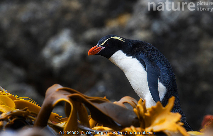Snares island penguins (Eudyptes robustus) Snares Island, New Zealand, vulnerable species. November., AUSTRALASIA,BIRDS,FLIGHTLESS,NEW ZEALAND,PENGUINS,PORTRAITS,SEABIRDS,SUBANTARCTIC ISLANDS,VERTEBRATES, Ole Jorgen Liodden