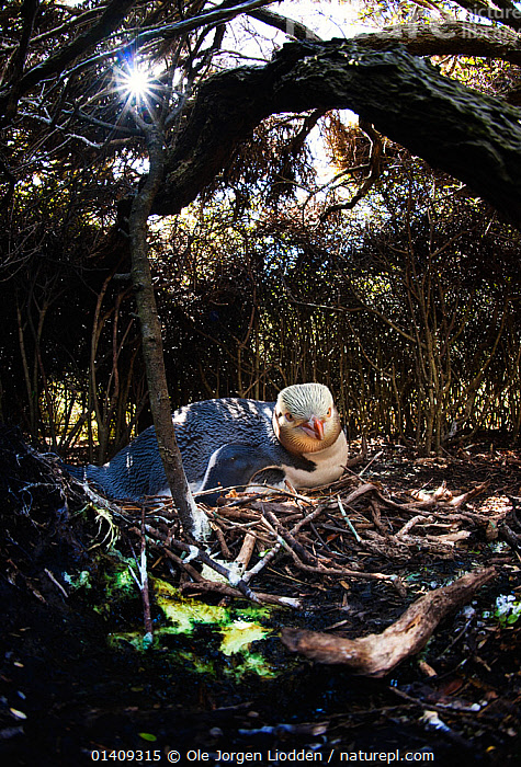 Yellow-eyed Penguin (Megadyptes antipodes) at nesting site in woodland, endangered species, Auckland Island, New Zealand.  November., AUSTRALASIA,BIRDS,ENDANGERED,FLIGHTLESS,NESTS,NEW ZEALAND,PENGUINS,SEABIRDS,VERTEBRATES,VERTICAL, Ole Jorgen Liodden