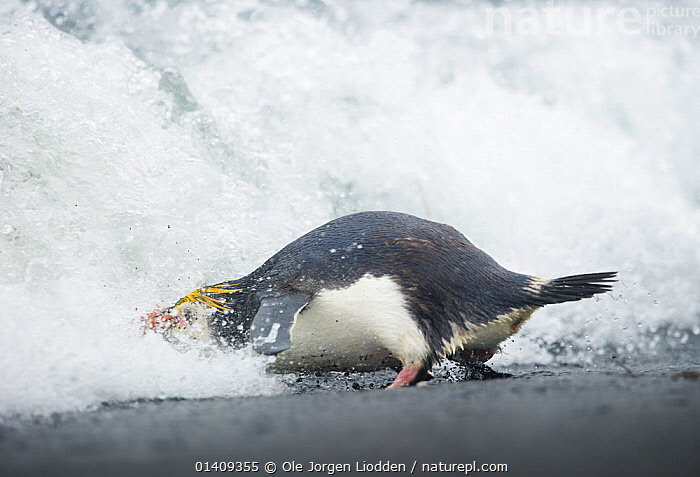 Royal Penguin (Eudyptes schlegeli) entering the water, Macquarie Island, Sub-Antarctic, Australia. November., AUSTRALASIA,BEACHES,BIRDS,FLIGHTLESS,MARINE,PACIFIC OCEAN,PENGUINS,SEABIRDS,SUBANTARCTIC ISLANDS,VERTEBRATES,WATER,WAVES,WILDLIFE, Ole Jorgen Liodden