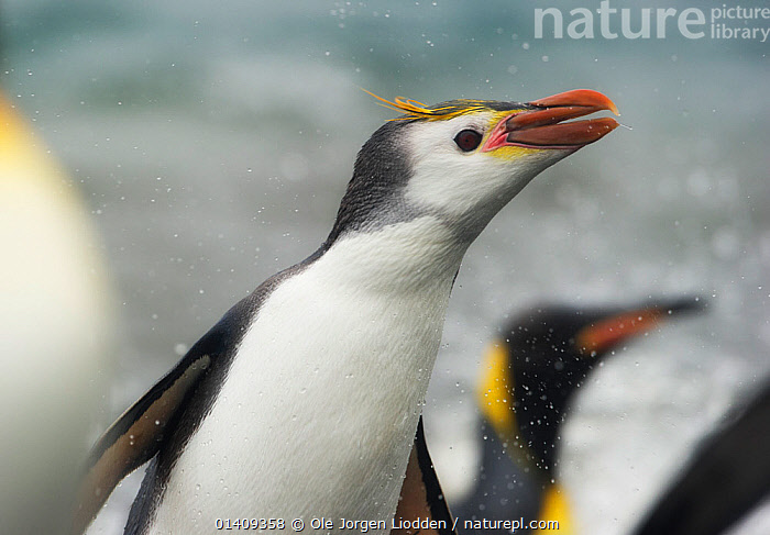 Royal Penguin (Eudyptes schlegeli) Macquarie Island, Sub-Antarctic, Australia. November., AUSTRALASIA,BIRDS,FLIGHTLESS,OCEAN,PACIFIC OCEAN,PENGUINS,PORTRAITS,SEABIRDS,SUBANTARCTIC ISLANDS,VERTEBRATES,WATER,WILDLIFE, Ole Jorgen Liodden