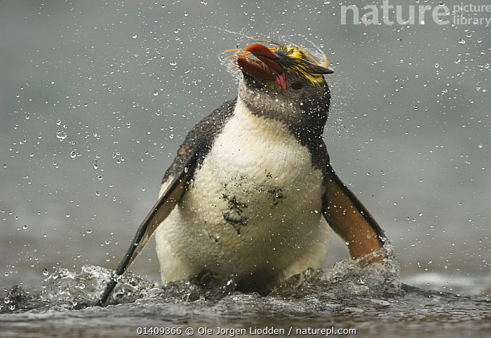 Royal Penguin (Eudyptes schlegeli) shaking off water, Macquarie Island, Sub-Antarctic Australia. November., AUSTRALASIA,BIRDS,FLIGHTLESS,OCEAN,PACIFIC OCEAN,PENGUINS,SEABIRDS,SUBANTARCTIC ISLANDS,VERTEBRATES,WATER,WILDLIFE, Ole Jorgen Liodden